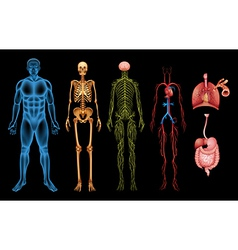 Human body systems vector image
