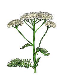 yarrow milfoil flower medicinal plant achillea vector image
