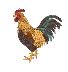 hand drawn rooster vector image