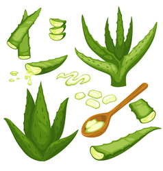 Aloe vera plant cut leaves and gel in spoon vector