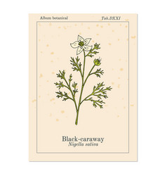 black caraway nigella sativa medicinal plant vector image