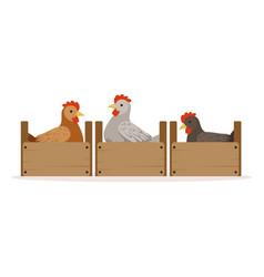 chicken sitting in wooden perches breeding vector image
