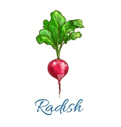 Radish vegetable isolated sketch icon vector image