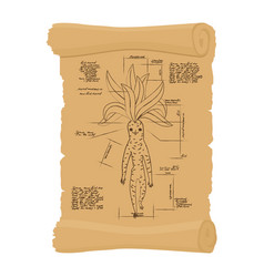 ancient scroll of mandrake root archaic papyrus vector image