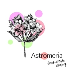 Astromeria flower for wedding or birthday card vector image