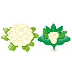 Cauliflower heads with leaves vector