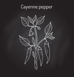 Chilli pepper capsicum annuum vector