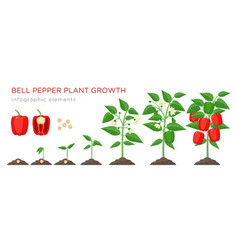 Sweet pepper plant growth stages infographic vector