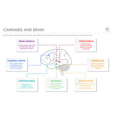 cannabis and brain horizontal business infographic vector image