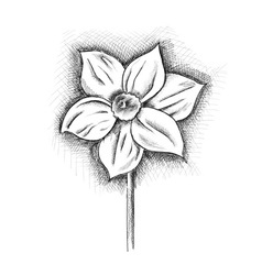 daffodil isolated on the white vector image