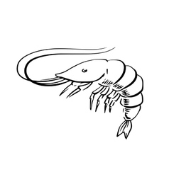 Fresh marine shrimp or prawn sketch vector