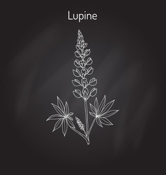 lupine lupinus perennis vector image vector image