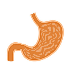 inside human stomach vector image