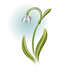 Snowdrop in the green color vector
