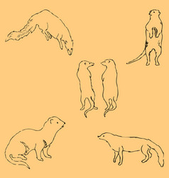 Mongoose sketch by hand pencil drawing by hand vector