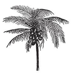Coconut palm vintage vector