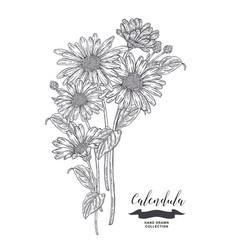 Calendula flowers and leaves medical plants set vector