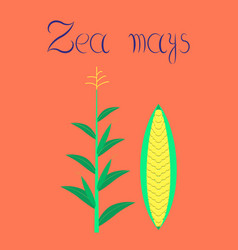 Flat on background zea mays vector
