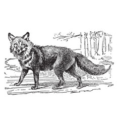 Red fox vintage vector