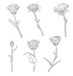 set of drawing calendula flowers vector image