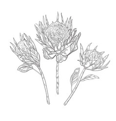 Three protea flowers on long stems sketch vector