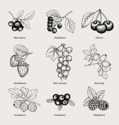 Vintage natural berries collection vector
