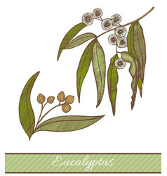 Colored eucalyptus in hand drawn style vector
