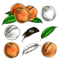 Sketch a peach hand drawn vector