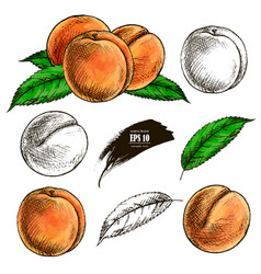 Sketch of a peach hand drawn vector