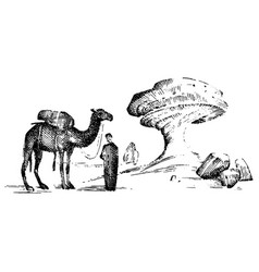 Desert landscape with arab and camel next to vector