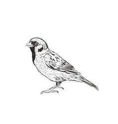sparrow sketch hand drawing sketch vector image