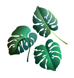 monstera leaves botanical exotic tropical plants vector image