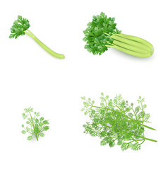 Set of celery and dill in realistic style vector