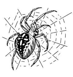 Araneus spider vector