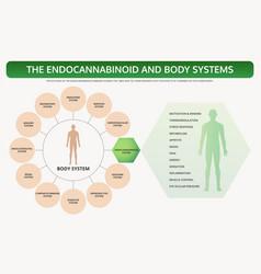 Endocannabinoid and body systems horizontal vector