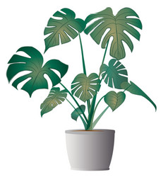 monstera deliciosa with pot vector image