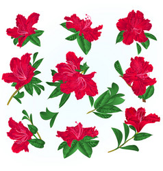 Red flowers rhododendrons and leaves vector
