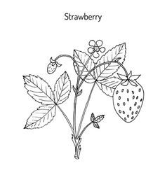 Garden strawberry fragaria ananassa vector