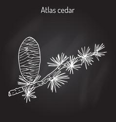 Branch of a atlas cedar cedrus atlantica vector