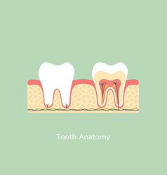 Healthy tooth anatomy vector