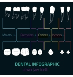 Teeth Infographic vector image vector image
