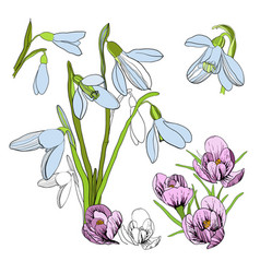 Drawing sketch of snowdrop first vector