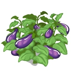 Planting and cultivation of eggplant vector image