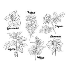tea herbs monochrome engraving set vector image
