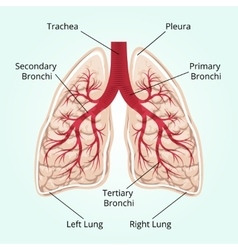 Structure of the lungs vector image vector image