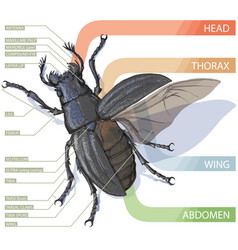 diagram of the beetle tutorial realistic vector image