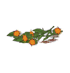 Isolated clipart safflower vector