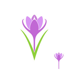 Crocus isolated flower on white background vector