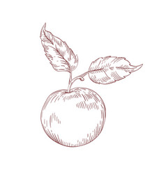 apple realistic hand drawn vector image