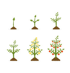 plant growth stages tree vector image
